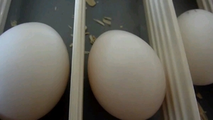 COCKATOO EGGS FOR SALE